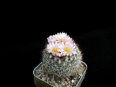 Photo Cactus 157 Flower