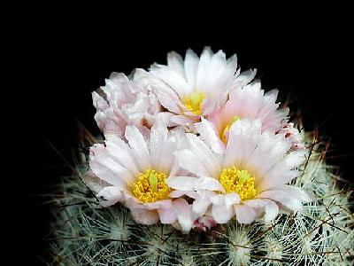 Photo Cactus 159 Flower