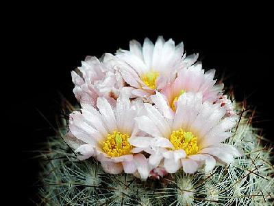 Photo Cactus 159 Flower