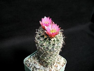 Photo Cactus 173 Flower