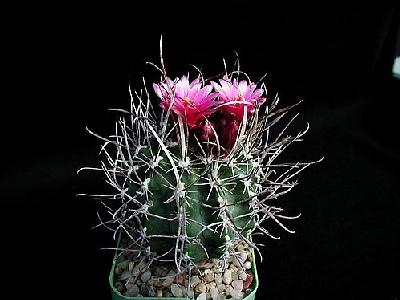 Photo Cactus 178 Flower