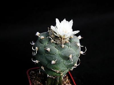 Photo Cactus 182 Flower