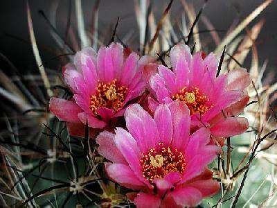 Photo Cactus 187 Flower