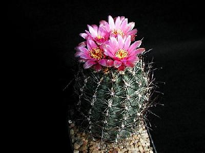 Photo Cactus 189 Flower