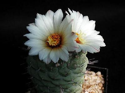 Photo Cactus 193 Flower