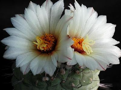 Photo Cactus 194 Flower