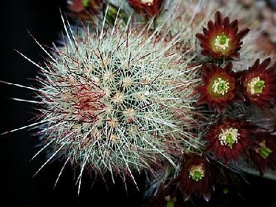 Photo Cactus 198 Flower