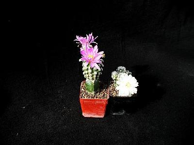 Photo Cactus 2 Flower