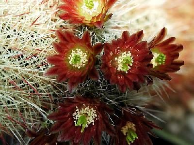 Photo Cactus 201 Flower