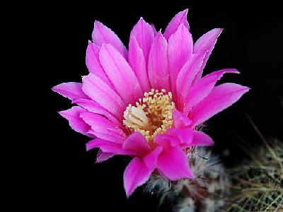 Photo Cactus 202 Flower