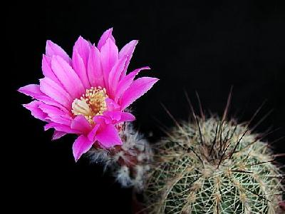 Photo Cactus 203 Flower