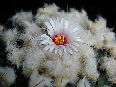 Photo Cactus 209 Flower