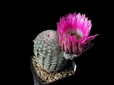 Photo Cactus 21 Flower