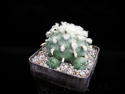 Photo Cactus 215 Flower