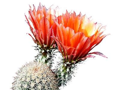 Photo Cactus 219 Flower