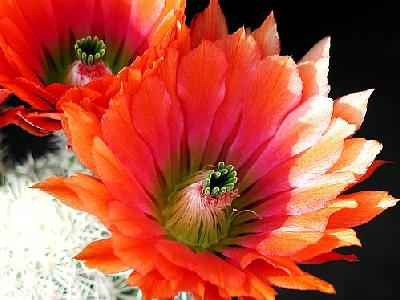 Photo Cactus 24 Flower