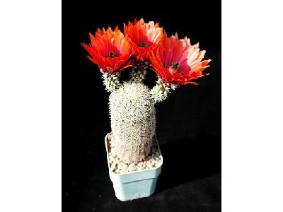 Photo Cactus 30 Flower