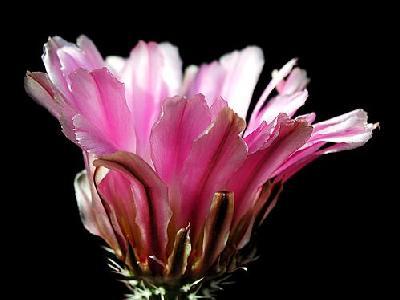 Photo Cactus 36 Flower