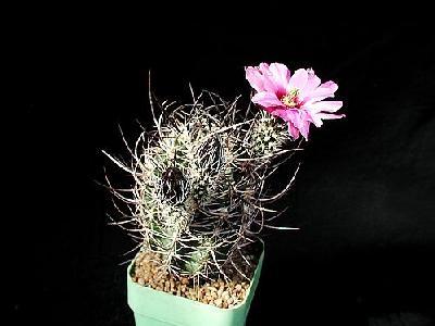 Photo Cactus 38 Flower