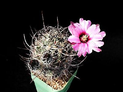 Photo Cactus 39 Flower
