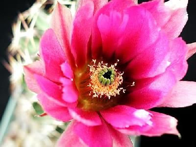 Photo Cactus 41 Flower