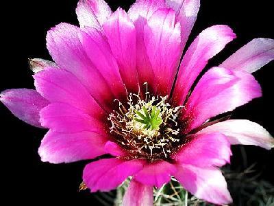 Photo Cactus 46 Flower