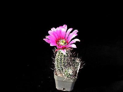 Photo Cactus 49 Flower