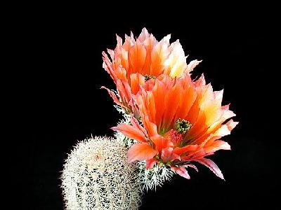 Photo Cactus 52 Flower