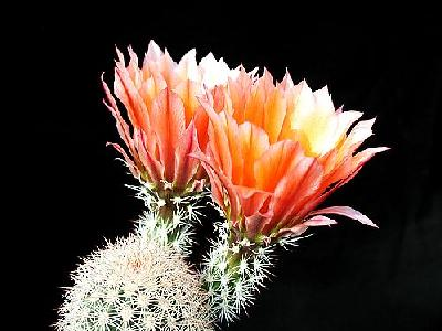 Photo Cactus 54 Flower
