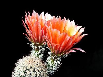 Photo Cactus 55 Flower