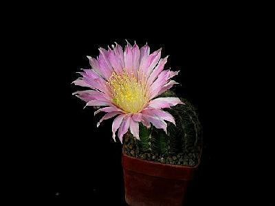 Photo Cactus 68 Flower