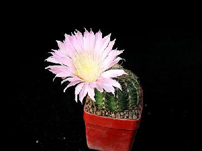 Photo Cactus 69 Flower