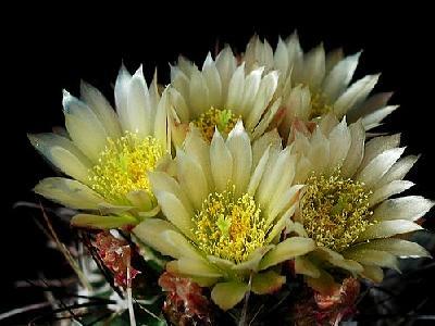 Photo Cactus 72 Flower