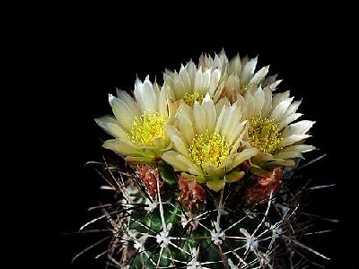 Photo Cactus 74 Flower