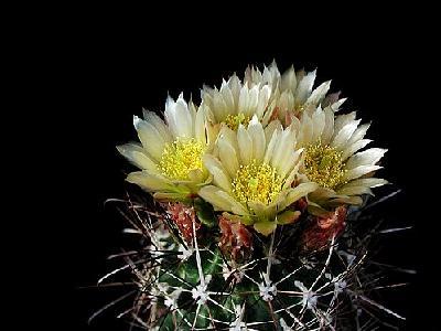 Photo Cactus 74 Flower