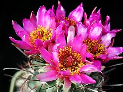 Photo Cactus 77 Flower