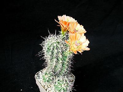 Photo Cactus 85 Flower