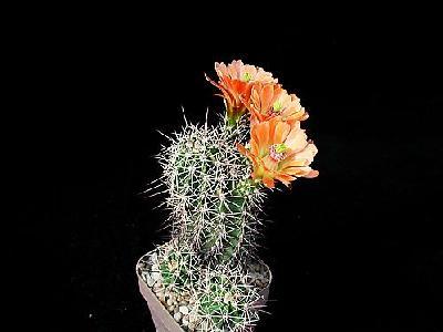 Photo Cactus 86 Flower