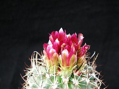 Photo Cactus 89 Flower