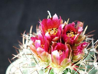 Photo Cactus 90 Flower