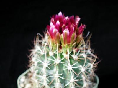 Photo Cactus 91 Flower