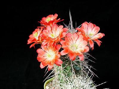 Photo Cactus 96 Flower