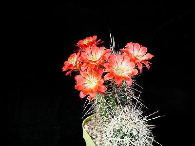Photo Cactus 97 Flower