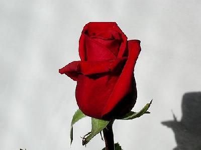 Photo Rose 1 Flower