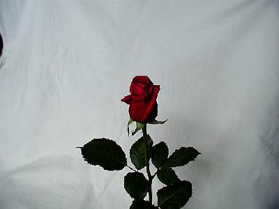 Photo Rose 13 Flower