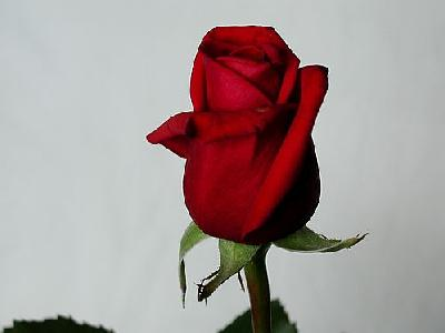 Photo Rose 18 Flower
