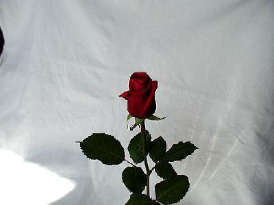 Photo Rose 19 Flower