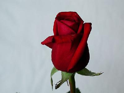 Photo Rose 28 Flower