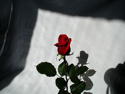 Photo Rose 4 Flower