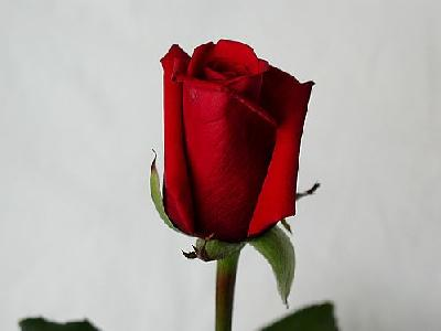 Photo Rose 43 Flower